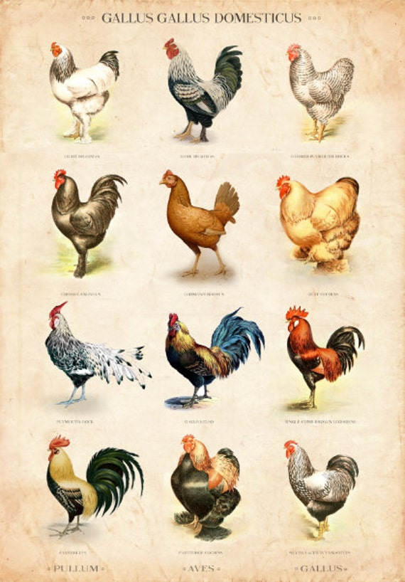 chicken breed chart: Vintage chicken breed chart limited edition art print