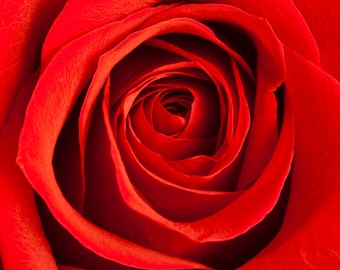 Red Red Rose - 8 X 10 Print - Flower and Nature Photography