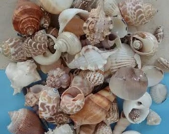 "1 Pd - Large Mixed Seashells  1""-3"" each.  - Weddings, crafts and coastal home decorating"