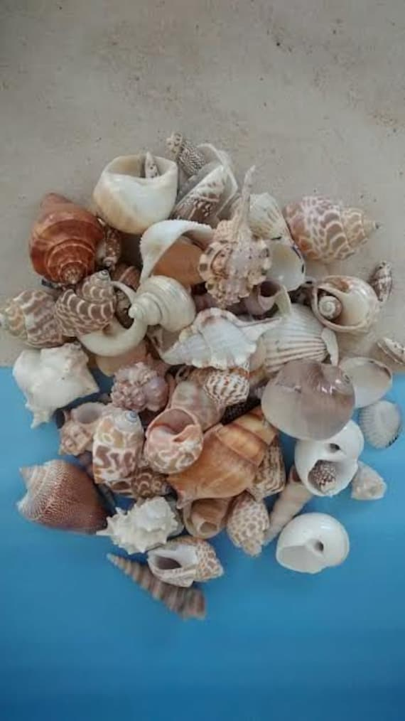 1 pd large mixed seashells 13 each for Big seashell crafts