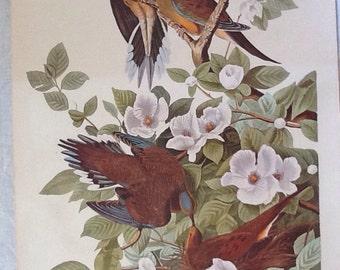 JJ Audubon Carolina Turtle Dove Print By R. Havell