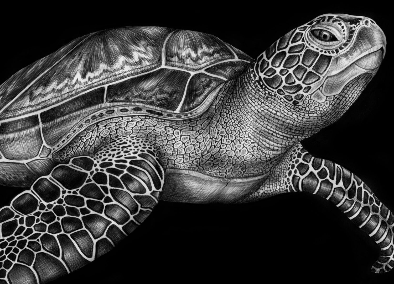 Green Sea Turtle Ink Drawing