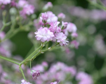 ON SALE Pink Baby's Breath Plant 2014 Seeds