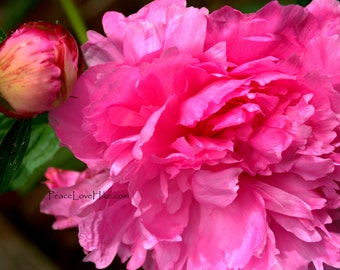 Pink Peony Flower Print #0325 Full Color, Fine Art