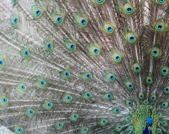 Peacock Bird Feathers Spread at the Milwaukee County Zoo Colorful Bold Vivid Fine Art Photo Print Home Wall Decor by Rose Clearfield on Etsy