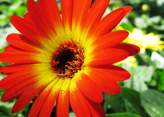 Red Yellow Gerber Daisy Photograph Fine Art Floral
