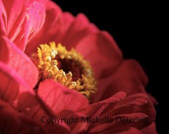 Red Flower - Zinnia Photography- Flower Photography, Flower Art, Flower Wall Decor, Flower Print, Red Flower art, Flower Decor, Flower Photo
