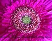 Pink Gerber Daisy - Photo Magnet