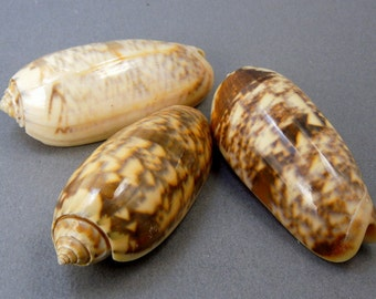 Beautiful Menecia Oliva Whole Shell (RK5B5a)