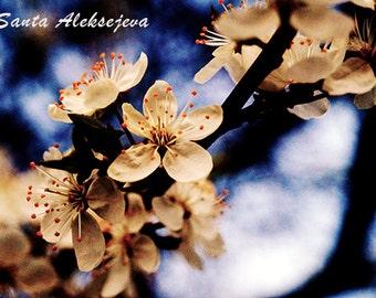 Cherry blossom - Fine Art Photography - Digital photography download, instant download, flower photography, spring photo, floral photo