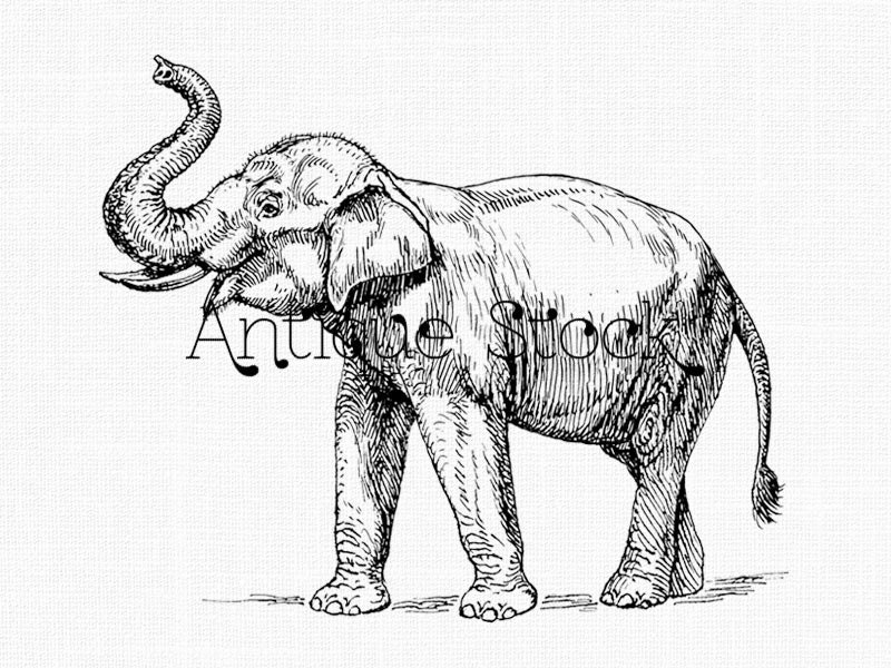 Indian Elephant Line Drawing Elephant Line Drawing ...