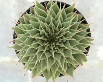 Medium Succulent Plant Graptoveria 'Silver Star'