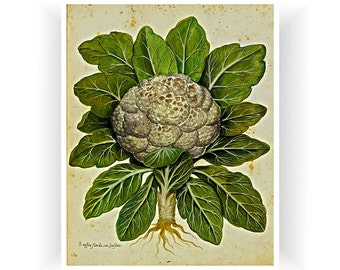 Botanical Vintage Art Cauliflower Print