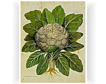Botanical Vintage Art Cauliflower Print