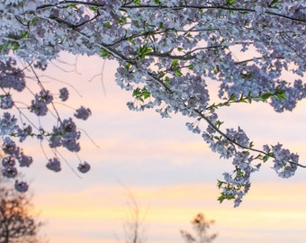 Nature Flower Photography : Wall Decor - Cherry Blossoms, Maryland