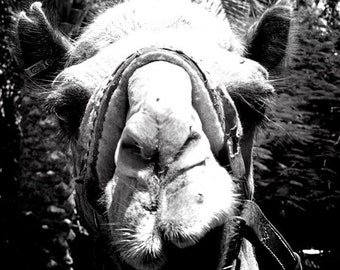 Black and White Camel Photograph, Nature Photography, Wall Art Print, Animal Photography, Dark Photo, Zoo, Gray