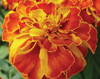 Fireball Marigold Seeds,French Marigold (Double) 200 Seeds