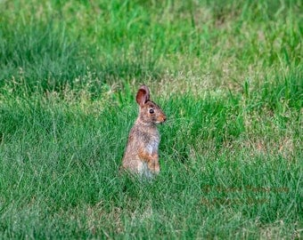 Nature Photography, rabbit art, rabbit photography, wildlife photography, 8x10, 13x19, 5x7, 8.5x11, Cute little Cotton Tail Rabbit