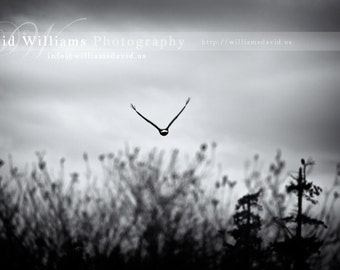 An Eagle Flying Away, Black and White Photograph Print, Photographic. 11x14, 12x18, 16x20, 16x24, 20x24, 20x30, photo.