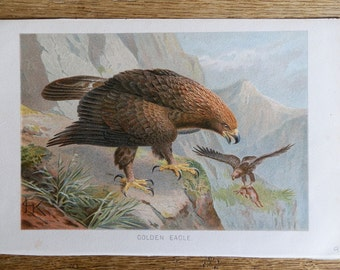 Vintage Print Golden Eagle c1920