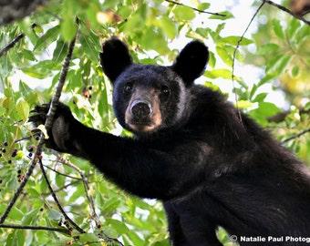 Bear in a Cherry Tree