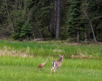 Sandhill Crane and Young Buck, Beautiful and Rare Couple, Deer and Bird, Photograph or Greeting card