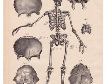 antique skeleton print, a printable vintage digital image  no. 640