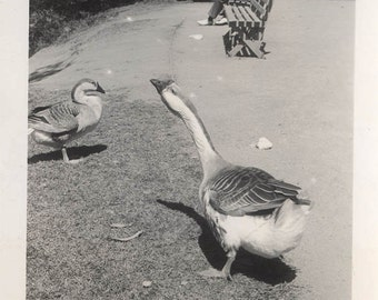 Vintage photo 1940 Geese in the Park in SF