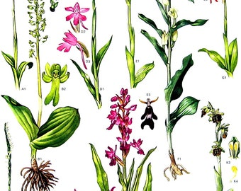 Burnt Tip Orchid, Brown Bee Orchid, Early Spider Orchid, Common Twayblade - Wild Flowers Botanical Print - 1988 Vintage Flower Print