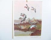 Vintage Bird Print - Cinnamon Teal Duck - American Widgeon Print - Gadwall Book Print - Lynn Bogue Hunt - Walter Foster - Field and Stream