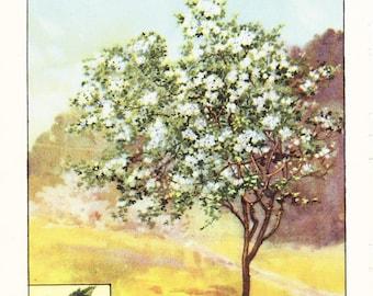 1926 Botany Print - Hawthorn Tree - Vintage Antique Book Art Illustration Nature Natural Science Great for Framing