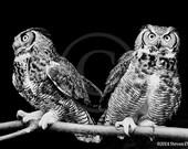 Two Owls, Great Horned Owl,  Art Print, Owl Art