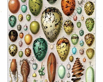 antique french exotic bird eggs illustration collage sheet digital download