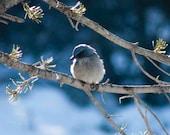 Scrub Jay Bird animal Photography  New Mexico Blue-Jay 11x14-27x35cm or 30cmx40cm-12x16  Fine Art Giclee