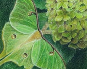 """Green Luna moth on the leaf of a Hydrangea - Art Reproduction (Print) - GREEN in """"Camouflage (Secondary Colors)"""" Series"""