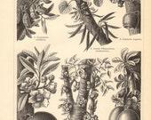 1897 Cauliflory, Cauliflorous Plants, Nam-nam, Judas Tree, Membrillo, Ayahuma, Elephant Ear Fig, Calabash Tree Antique Engraving Print