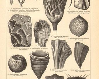 1897 Silurian and Cambrian Fossils, Corals, Feather Stars, Sea Urchins, Sponges, Algae, Snails, Trilobites, Bivalves, Annelids Antique Print