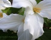 Trillium Flowers Photograph-Michigan's Upper Peninsula--Fine Art Print