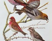 Antique Bird Book Plate - Purple Finch and Pine Grosbeak  - 1940s