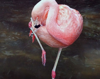 Flamingo, Preening, Pink, Zoo Atlanta