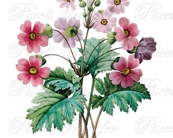 PINK PRIMULA Wedding Clipart pink Instant Download purple flower botanical illustration botanical Redoute 331