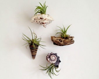 4 air plant sea shell magnets Living decor- magnets Tillandsia air plant- succulent/unique gift for any occasion