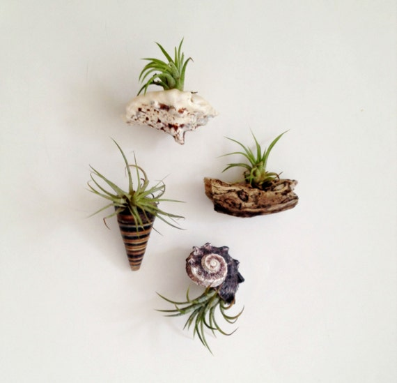 4 air plant sea shell magnets living decor magnets tillandsia for Air plant decoration