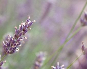 Flower Photography - English Lavender Print - 8x12