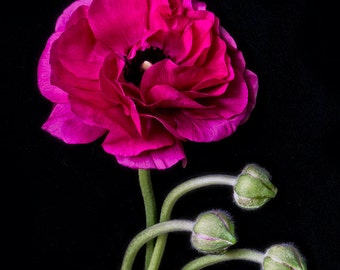flower photograph flower photography fine art photography nature wall art print wall decor, Magenta Ranunculus Black Background #12
