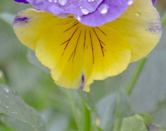 Flower photography, Purple and Yellow Pansy - Fine Art Photography