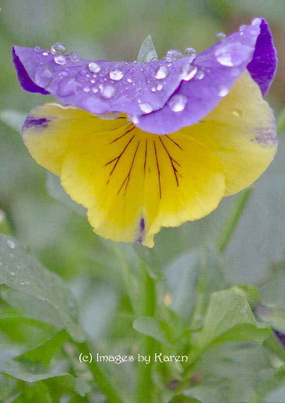 Flower photography purple and yellow pansy fine art for Purple and yellow painting