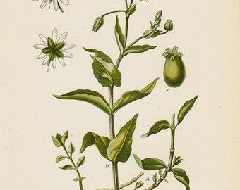 1880 BOTANICAL Original antique print, green herbs, grass
