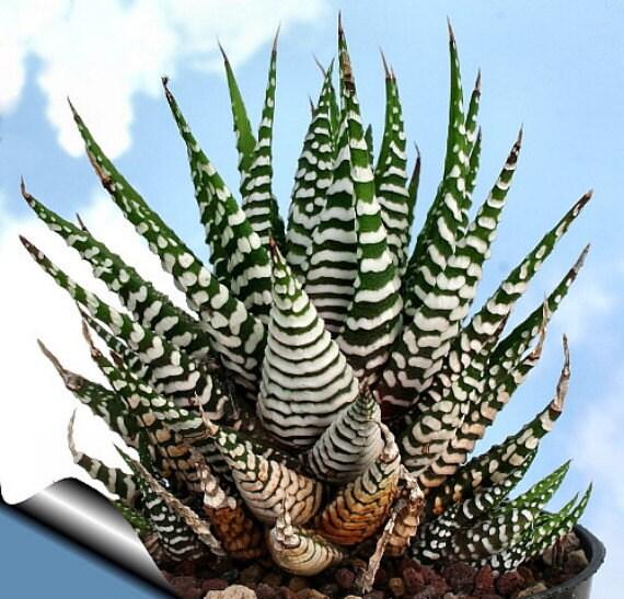 Zebra Haworthia Plant Easy To Grow Hard To Kill By