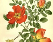 Rosa lutea var. punicea Victorian botanical illustration reproduction